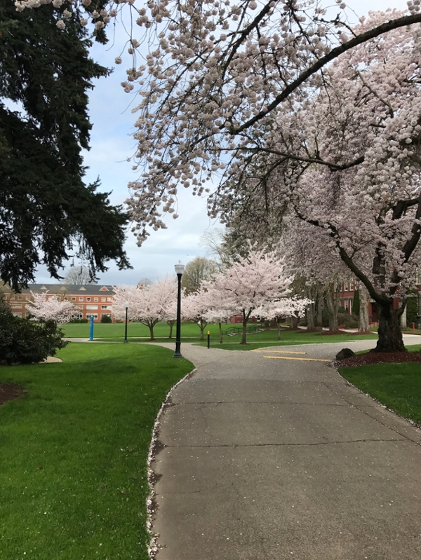 Cherry trees on campus.