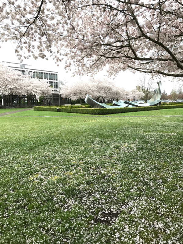 Cherry blossoms falling on the Oregon Capitol Mall.
